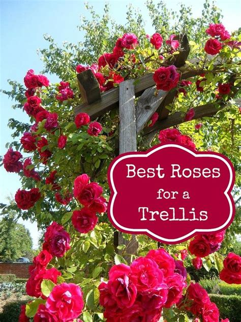 best climbing plants for arches best roses trellis and roses on
