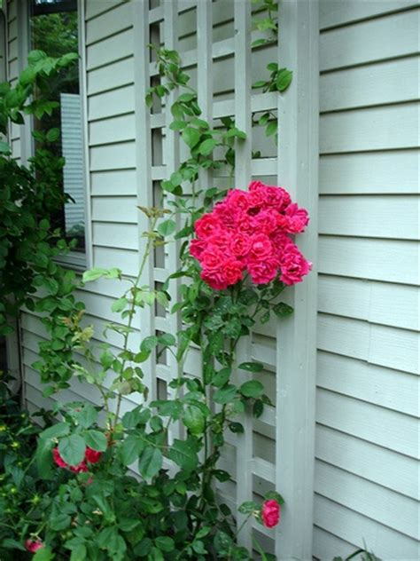 ideas for climbing rose supports 56 best images about trellis ideas on