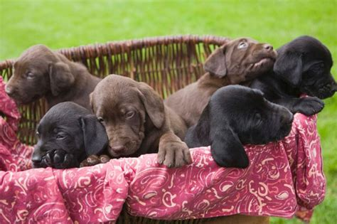 how many puppies are in an average litter which breed has the most puppies in a litter cuteness
