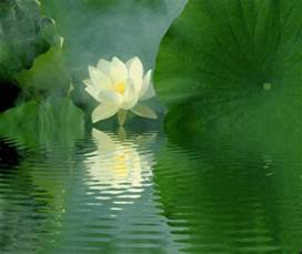 Lotus In The Water Prayers Serenity
