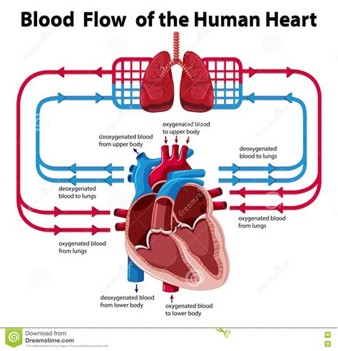blood flow diagram diagram of blood supply gallery how to guide and