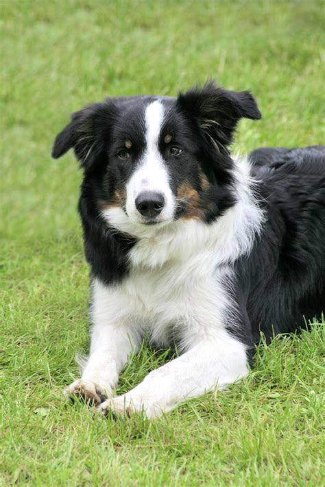 images of border collie puppies fichier border collie jpg wikip 233 dia