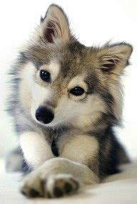 cross between a pomeranian and a husky pomsky a cross between a husky and a pomeranian i like to think of this one as a