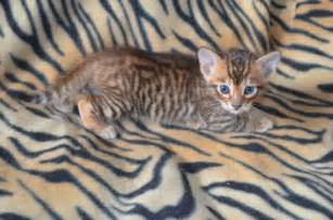 Toyger kitten male brandon suffolk pets4homes