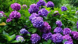 hydrangea wallpapers hd full hd pictures