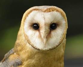 barn owl barn owl living coram deo