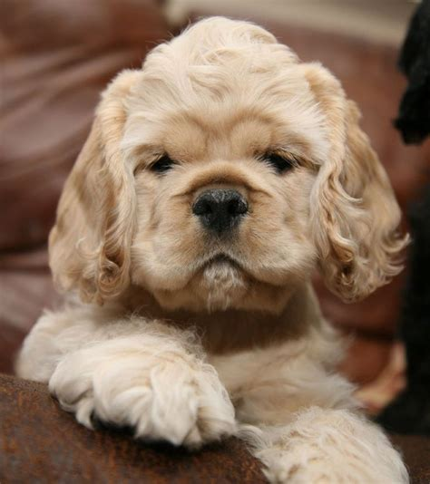 american puppies 137 best images about mini cocker spaniel american cocker spaniel on