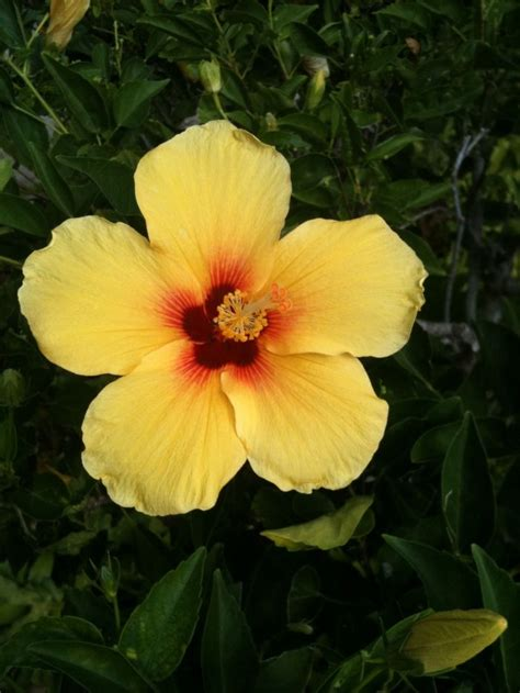 which state has a hibiscus hawaii s state flower hibiscus hawaii pinterest