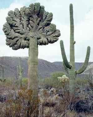 saguaro cactus diagram crested cactus sonoran desert arizona travel