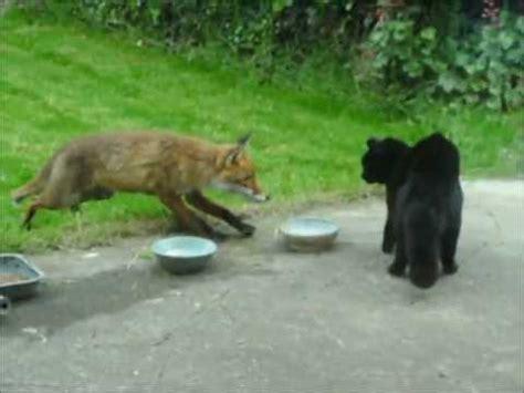 is a fox a or cat cat vs fox an cat i gcoinne an tsionnaigh katze gegen fuchs chat contre renard
