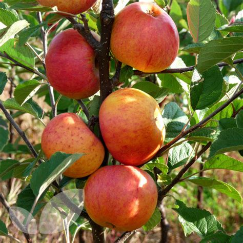 mini orchard fruit trees mini orchard pack fruit trees for sale