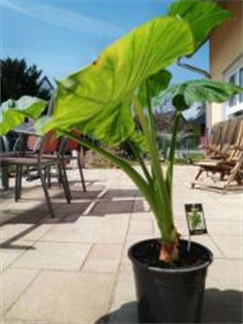 zimmerpflanzen gross zimmerpflanzen pflanzen garten g 252 nstige angebote