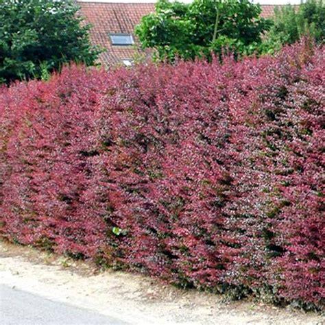 7 best garden edible hedge images on pinterest backyard ideas garden ideas and garden hedges