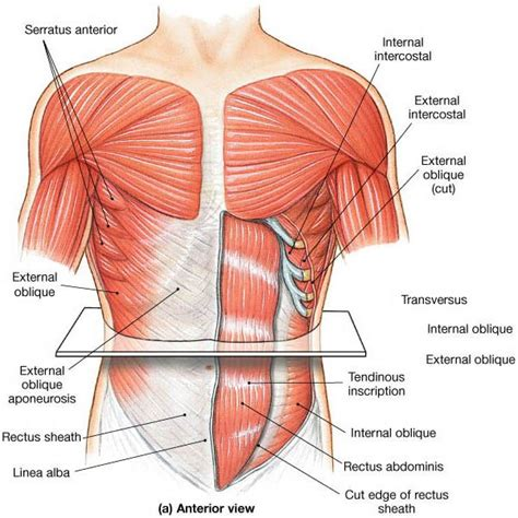 muscles that move the abdominal wall anatomy abdominal muscles anatomy anatomy