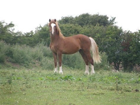section d yearling colt welsh cob sec d holyhead isle of anglesey