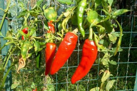 coltivare peperoni in vaso coltivare i peperoni nell orto coltivare l orto