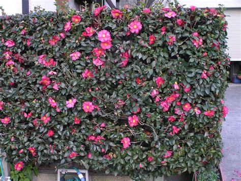 Plants & Flowers » Camellia japonica
