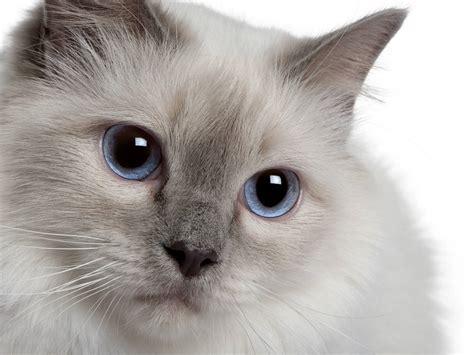 The Birman Cat   Cat Breeds Encyclopedia
