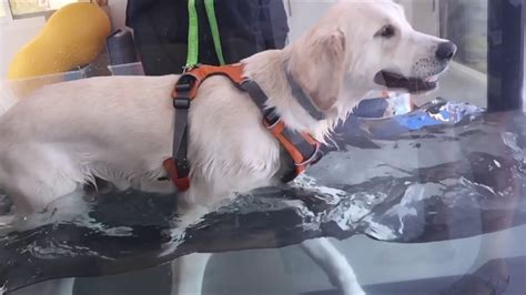 golden retriever dubai golden retriever rehabilitation on water treadmill umm suqeim veterinary dubai