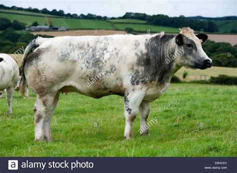 blue cattle herd of blue cattle in stock photo 55087453 alamy