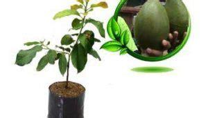 Beli Bibit Mangga Alpukat 5 cara menanam mangga alpukat di pekarangan paling mudah
