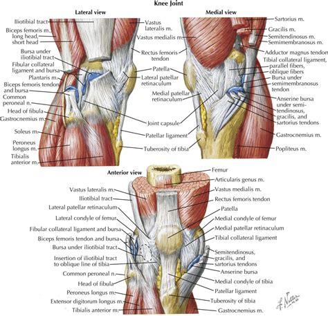 tendons in the knee diagram knee muscles and tendons anatomy human anatomy system