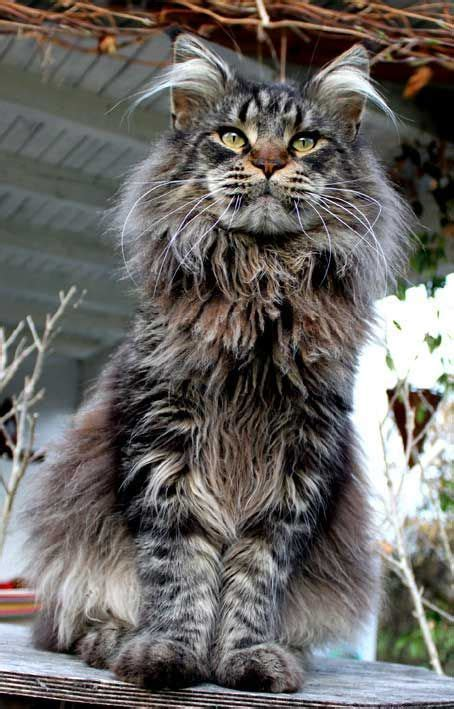 maine coon kittens ideas  pinterest maine coon maine coon cats  cats
