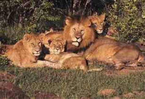 imagenes manada leones es solo cuesti 243 n de actitud manada de natalia carolina