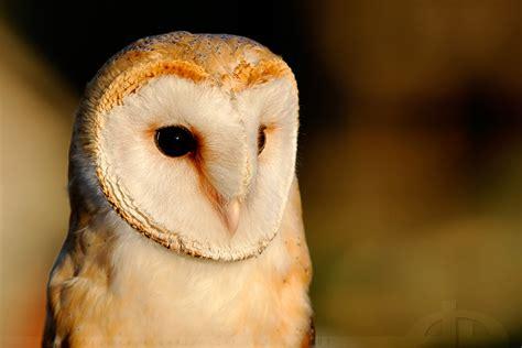 Alba 033 White Silver owl in eveninglight by thrumyeye on deviantart