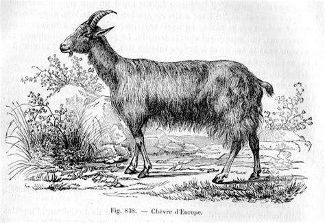 Definition Chevre by Caprin 233 S Dictionnaire Des Sciences Animales