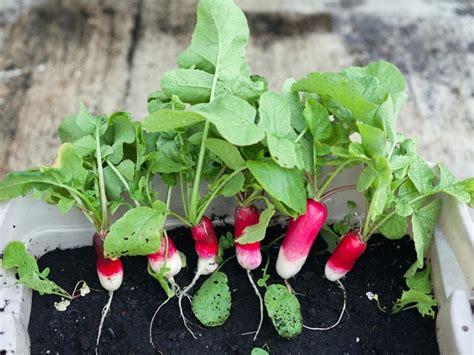 frutas  verduras  puedes cultivar en macetas