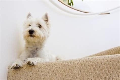 how do i get dog hair off my couch how to get dog hair out of your carpet hubpages