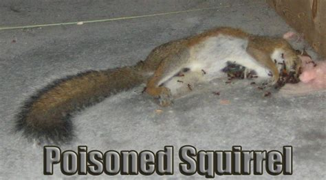 how to a for squirrel squirrel poison how to kill squirrels