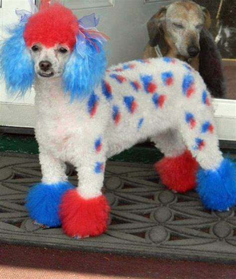 dog haircuts gone really wrong red white and blue extreme dog grooming mom me