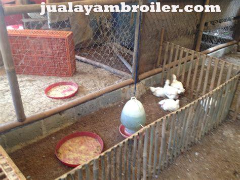 Jual Bibit Ayam Broiler Di Tangerang jual ayam broiler di ciputat tangerang selatan jual ayam