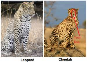 Difference Between Leopard And Cheetah And Jaguar How To Distinguish Between A Cheetah A Leopard And A