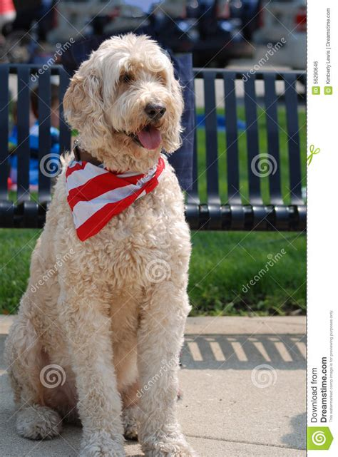 goldendoodle puppy neck size large flag american usa stripes pole blue sky windy