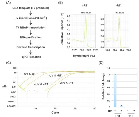 qpcr template rt qpcr analysis of transcripts from uv irradiated dna