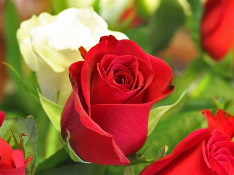 images of love roses love rose flowers flower hd wallpapers images pictures