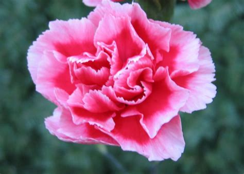 facts about carnations carnations flowers carnation flower gallery 3