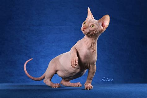 Sphynx Cat Wallpapers   Fun Animals Wiki, Videos, Pictures