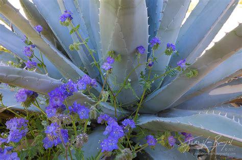 desert flowers anza borrego in nature desert springshine anza borrego wildflowers