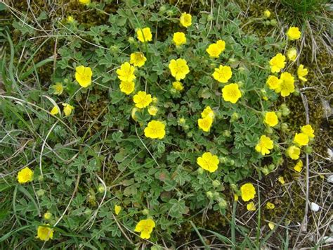 fiore giallo nomi fiori gialli dei pascoli foto dei fiori e delle piante