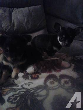 papillon chihuahua mix puppies for sale papillon chihuahua mix puppies for sale in tierra buena california classified