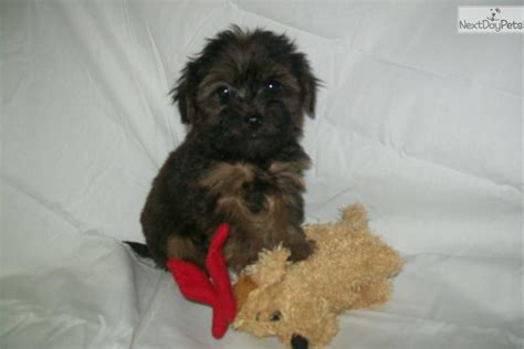 yorkie poos for sale in pa yorkie poo puppies for sale in harrisburg pa sale of stock options reported on w2