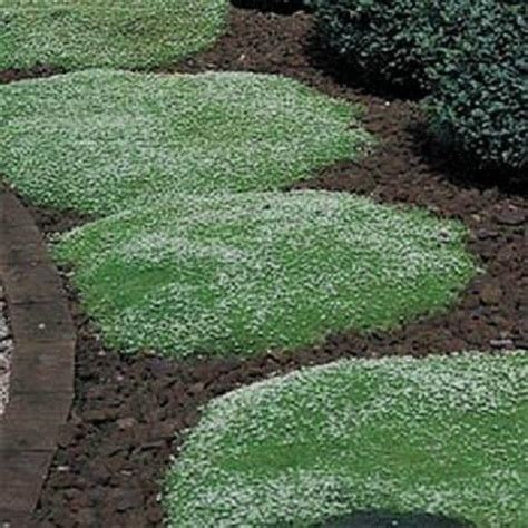 irish moss seeds 500 seeds ground cover perennial sagina
