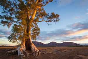 tree australia file cazneaux tree flinders ranges south australia