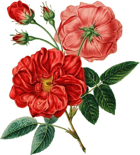 free illustration red rose vintage botanical free