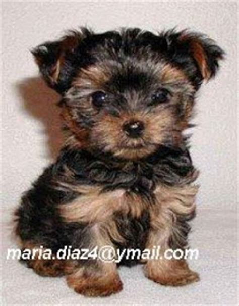 teacup yorkie dogs 101 and adorable teacup yorkie puppies for adoption pomsky puppies