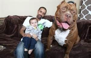 owner of world s pit bull works to overcome breed